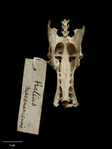 OR.015139; Rallus philippensis macquariensis; holotype (ventral) (image/tiff)