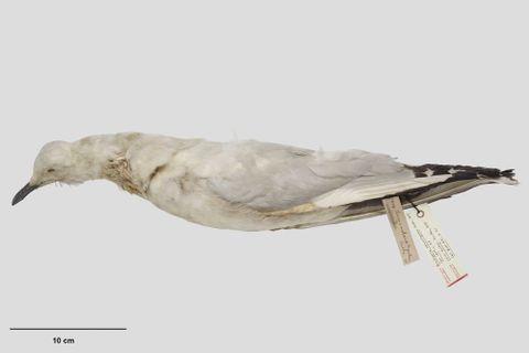 OR.002387; Larus bulleri; holotype (lateral) (image/tiff)