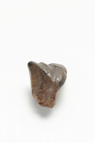 Fossil Iguanodon Tooth GH004839 (image/tiff)