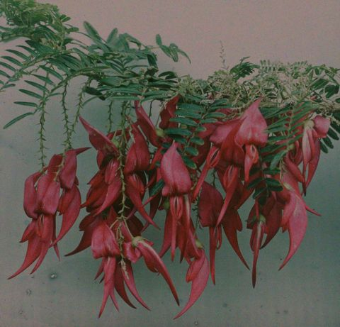 A.018205; Red kowhai; 1915; Walrond, Robert (image/tiff)
