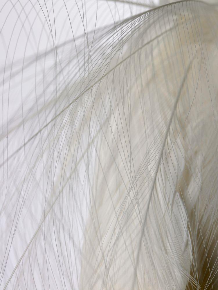 White Heron , Egretta alba modesta | Collections Online