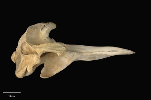 MM002133; Mesoplodon bowdoini; right lateral (image/tiff)