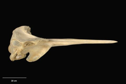 MM002134; Mesoplodon grayi; right lateral (image/tiff)
