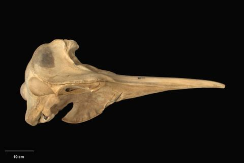 MM001834; Mesoplodon hectori ; right lateral (image/tiff)