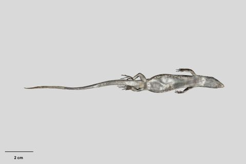 RE.002077; Oligosoma microlepis Patterson & Daugherty, 1990; holotype; ventral (image/tiff)