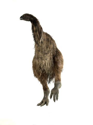 A careful reconstruction of the stout legged moa (Euryapteryx geranoides)