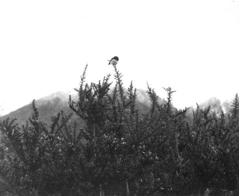 Tomtit, Taipo Valley, Westland, 1967