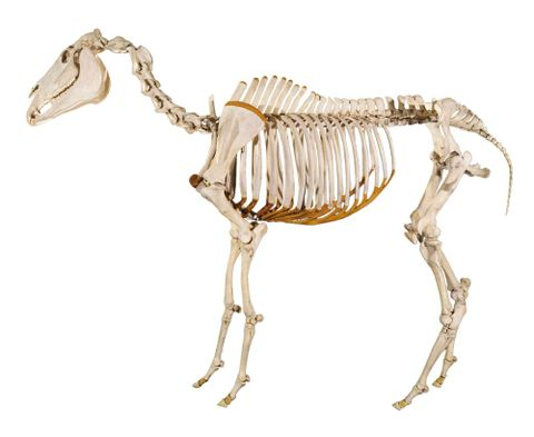 Skeleton of Phar Lap, LM000760 (image/tiff)